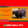 WA 0878-8064-3713, Penjual Sapi Qur...